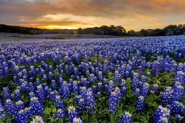 Aluminium Prints Texas Beautiful Bluebonnets field at sunset near Austin, Texas in spri