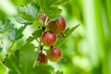 speyuschy large gooseberries on the bush