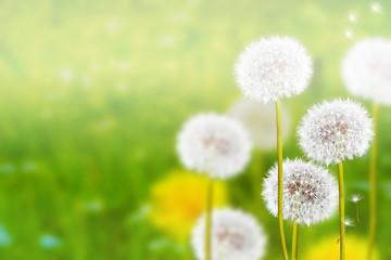Wildflowers dandelions