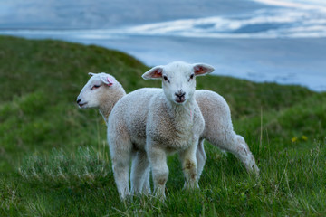 Two cute lambs on the green grass, Norway