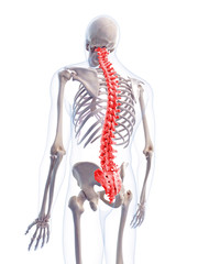 medically accurate 3d illustration of the human spine
