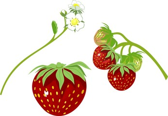 Strawberry and flowers of strawberry