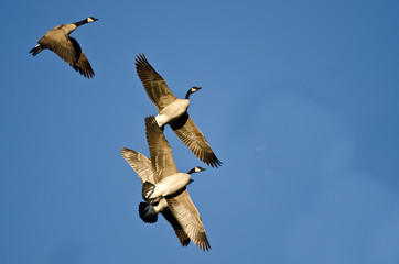 Flock of Canada Geese Flying in a Blue Sky