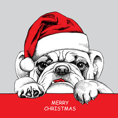 The poster of portrait bulldog in the santas hat. Vector illustration.