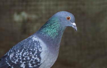 Pigeon de ville