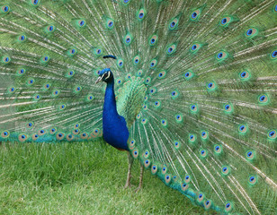 Male Peacock displaying iridescent train feathers.