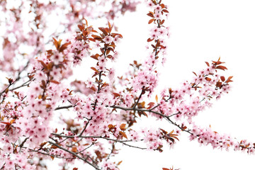 Blooming tree with the pink flowers, outdoors