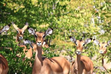 Antilopes in Moremi Game Reserve in Botswana