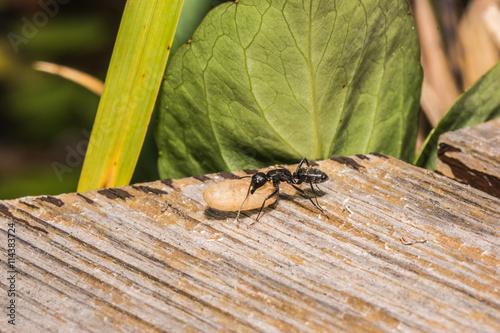 Ameise trägt ein Ei