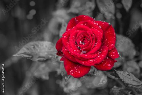 "Colorkey ""Rose"""