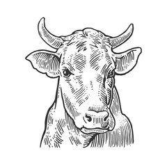Cows head. Hand drawn in a graphic style. Vintage vector engraving illustration for info graphic, poster, web. Isolated on white background.