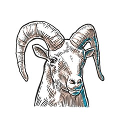 Goat head on white background.
