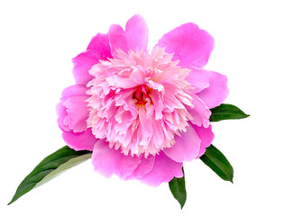 Peony flowers isolated on white background