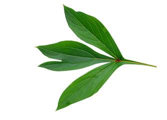 Peony leaf isolated on white background