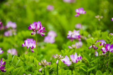 Beautiful blossoming astragalus flowers in spring