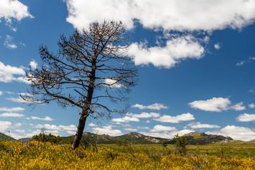 Paisaje de montaña con pino quemado. Sierra del Pinar, Castrocontrigo, León.