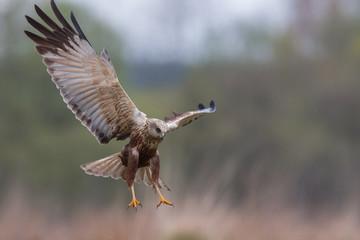Birds - Marsh Harrier (Circus aeruginosus)