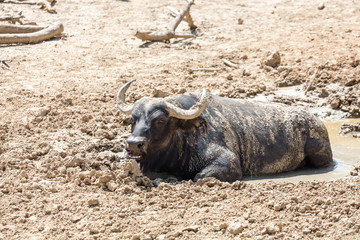 Cape Buffalo Cooling in Puddle