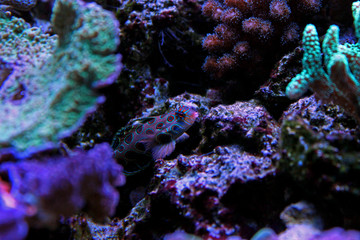 Green spotted mandarin fish