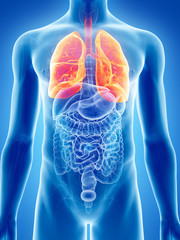 3d rendered, medically accurate illustration of the lung