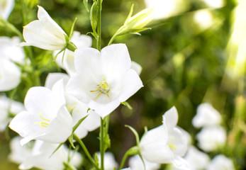 buds white campanula