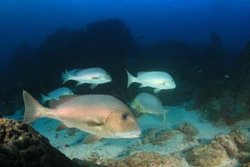 Sweetlips fish on coral reef in sea