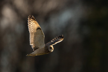 Short-eared owl flying