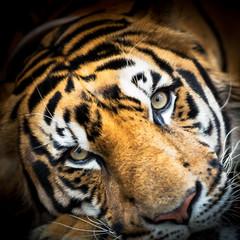 Siberian tiger face