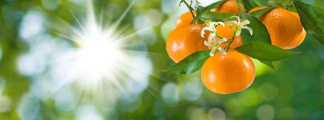 Fototapete - image of ripe sweet tangerine closeup