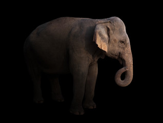 male asia elephant in the dark