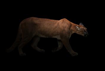 puma (Panthera onca) in the dark