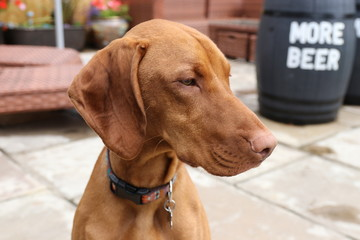 A young hungarian vizsla dog