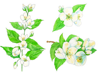 set of jasmine, white flowers and green leaves with black outline, watercolor painting, hand-drawing sketch, illustration on white background