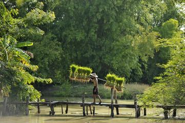 Man carrying rice plants across bridge, Thailand