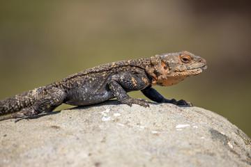 portrait of brown lizard on the rock, Georgia