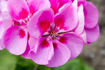 Rosa farbige Pelargonium , blühend in einem Garten im Frühjahr
