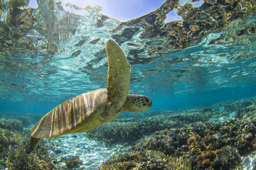 Close-up of a Turtle swimming underwater, Great Barrier Reef, Queensland, Australia