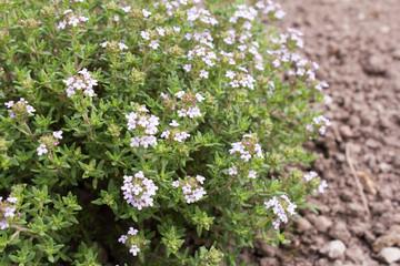 Thymian (Thymus vulgaris) ist eine Heilpflanze für Medizin und Aromatherapie und ein beliebtes Küchenkraut.