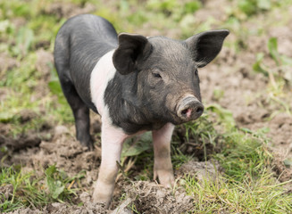 Saddleback piglet looking for food in a muddy field