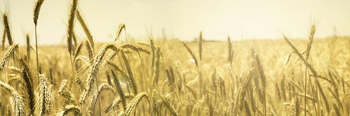 Cultivo de Cebada, Cereal Plants, Barley,