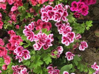 fleurs bicolores roses et fuchsia