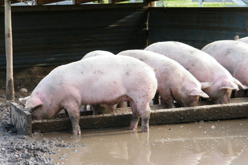 Pink Pigs Feeding from a Trough in a Muddy Pen