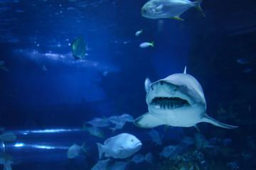 Big shark in the oceanarium