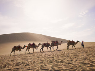 Camels on the Silk Road in Dunhuang (Gansu Province, China)