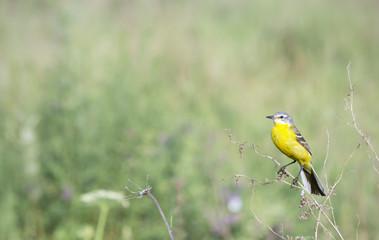 nature background with small  yellow bird on the green field