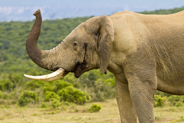 African elephant standing with its trunk in the air