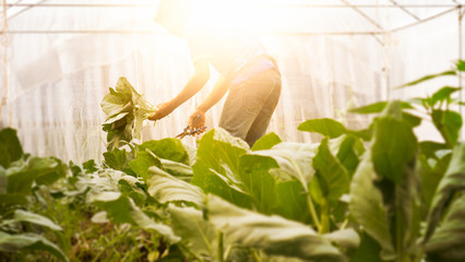 Soft image man harvest organic Chinese kale in the Greenhouse nu