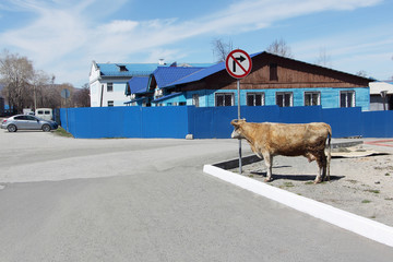 The cow standing at a road sign - Turn is to the right forbidden