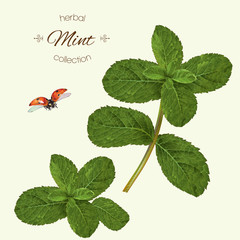 Vector realistic illustration of mint with ladybug. Isolated on light green background. Design for tea,essential oil, natural cosmetics, seasoning, aromatherapy.Can be used as summer design element.