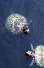 Turtles swim in the pond. Small aquatic turtles in the clear waters of the lake in the Park.